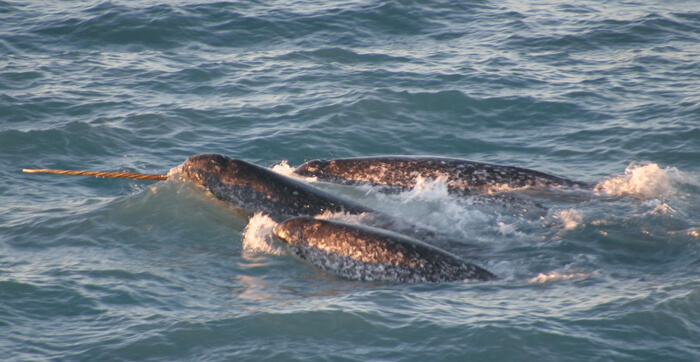 Pods of narwhals