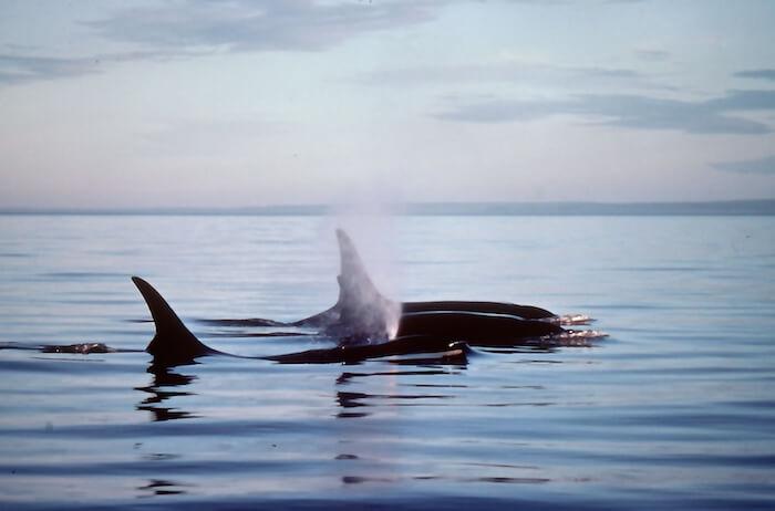 Des nageoires dorsales d'épaulard perçant la surface de l'eau.