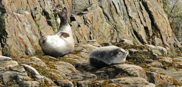 Harbour seals on the stones.
