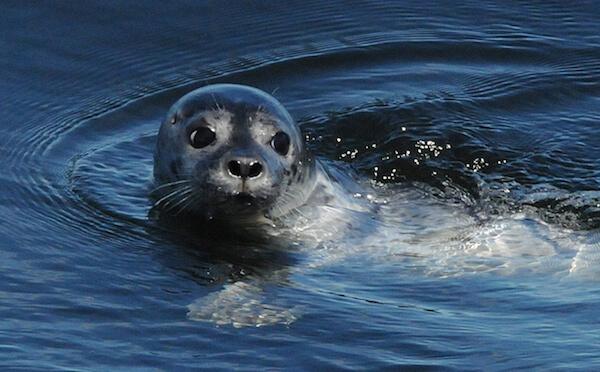 Un phoque commun nageant dans l'eau.
