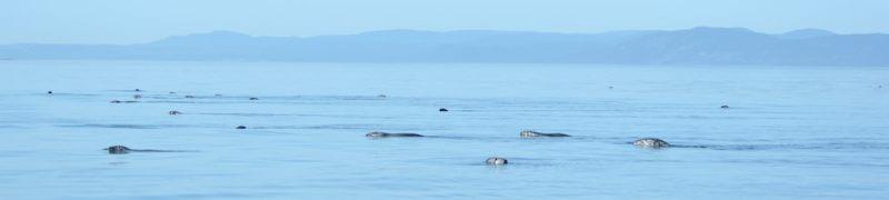 Phoques nageant en groupe.