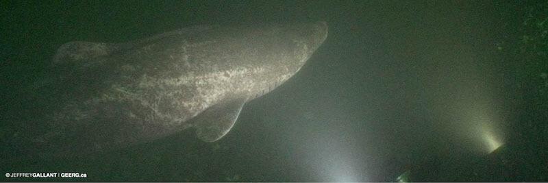 Un requin du Groenland dans son habitat naturel.