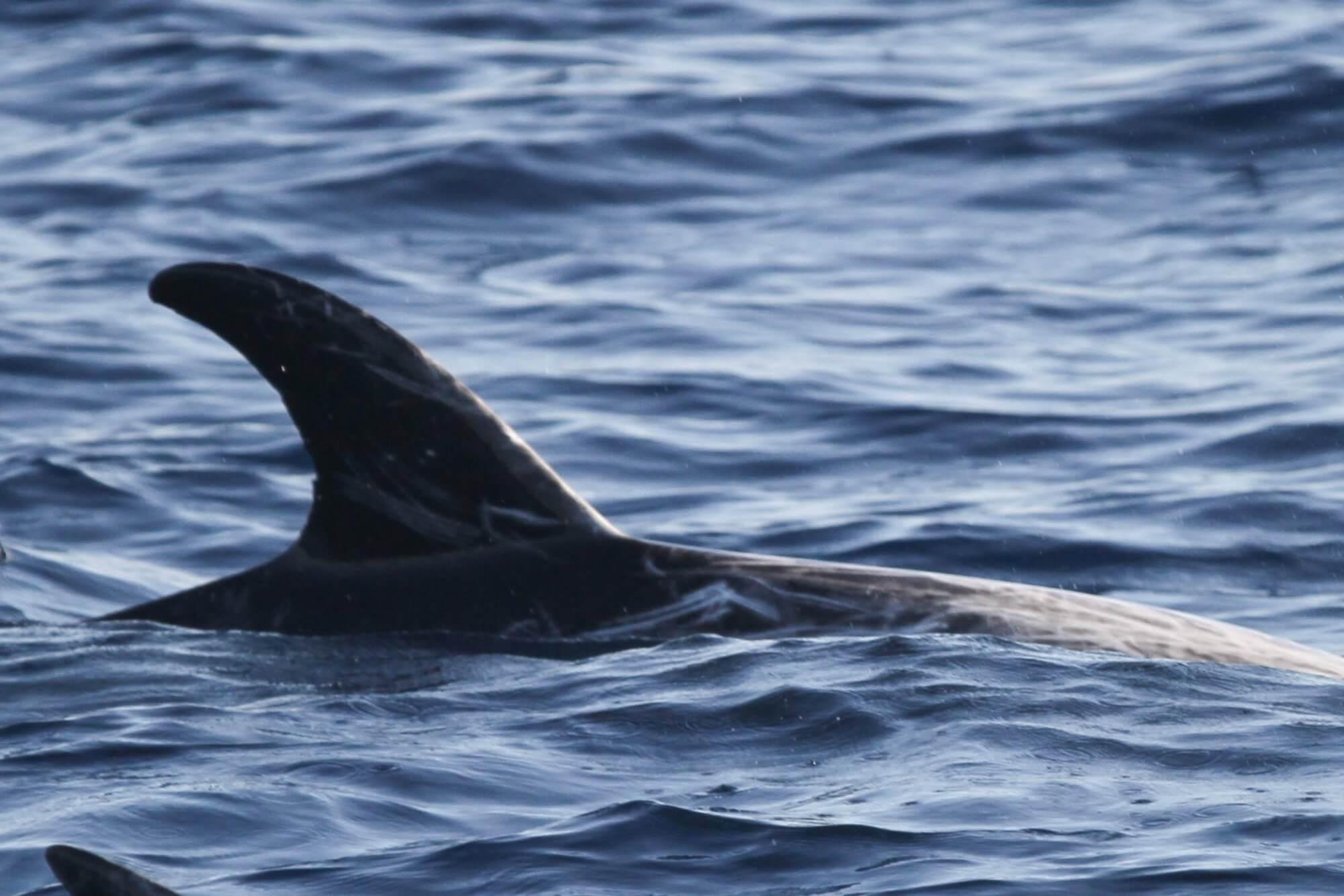 Nageoire de dauphin de risso