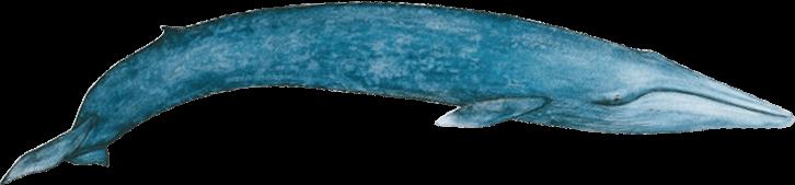 Image rorqual bleu