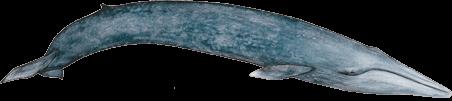 Rorqual bleu