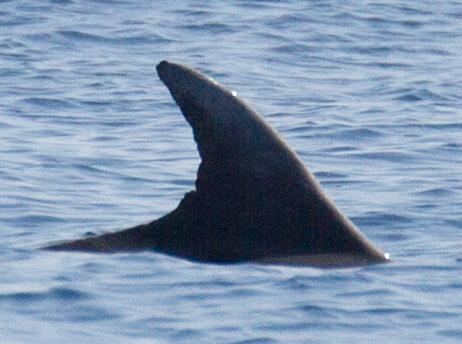 Nageoire de dauphin
