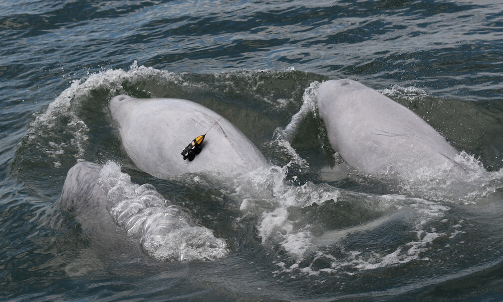 Three belugas, with one with a tag