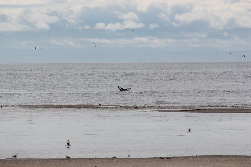 Queue de rorqual à bosse à quelques mètres de la plage