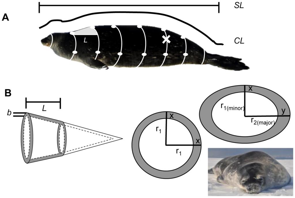 diagrammes de phoques coupés en rondelle pour des calculs de taille.