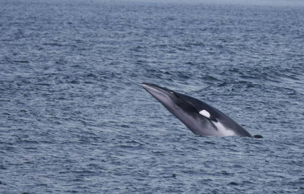 A minke Whale jumping out of water.