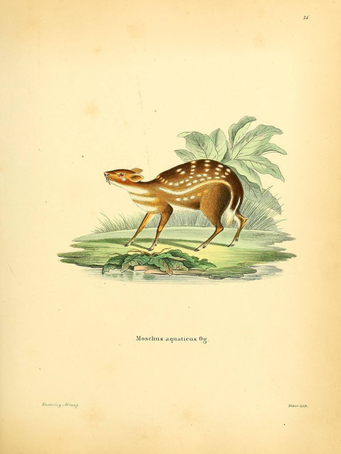 Dessin du chevrotain aquatique