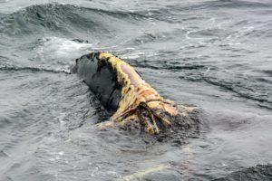 Pédoncule blessé de baleine noire