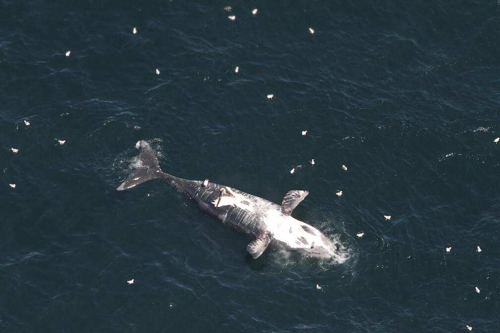 La carcasse de la baleine noire Wolverine flotte à la surface, le ventre exposé