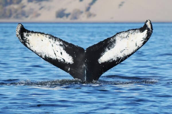 Humpback whale named Gaspar © GREMM