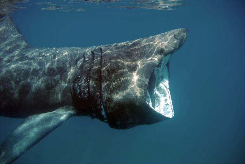 Basking shark © Andrew Parson