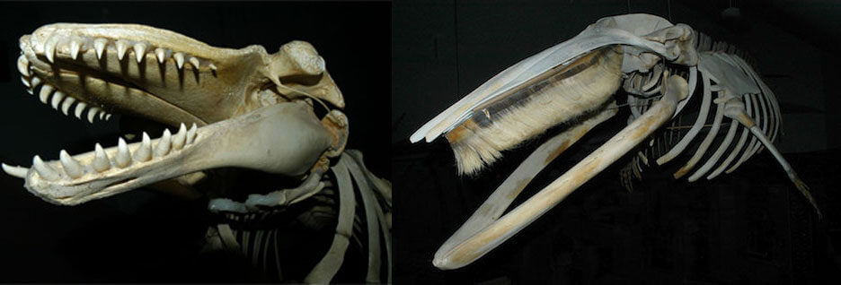 Two skeletons, one with teeth, the other one with baleen
