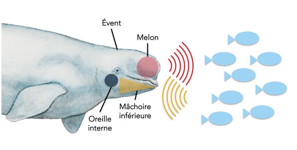 Schéma explicatif de l'écholocalisation. Le melon, organe situé sur le dessus de la tête du béluga sert à émettre des sons, et les sons qui se répercutent sont captés par la mâchoire inférieure.