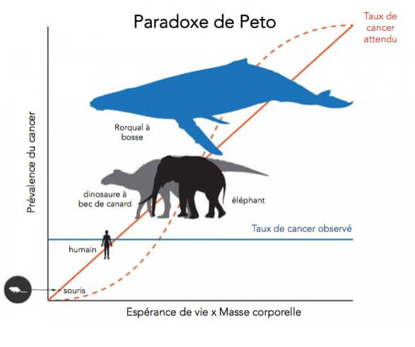Graphique illustrant le paradoxe de Peto. Le taux de cancer attendu augmente avec la taille et l'espérance de vie, alors que le taux de cancer observé est stable, peu importe la taille ou l'espérance de vie.
