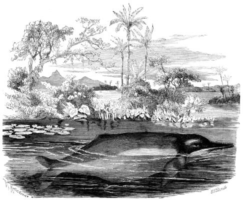 Drawing of an Amazon river dolphin.