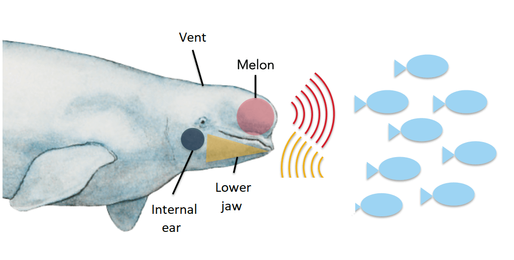 picture showing the vent, the melon, the lower jaw and the internal ear