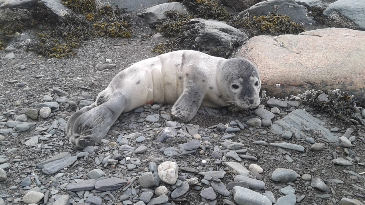 A young harbor seal lying on the beach