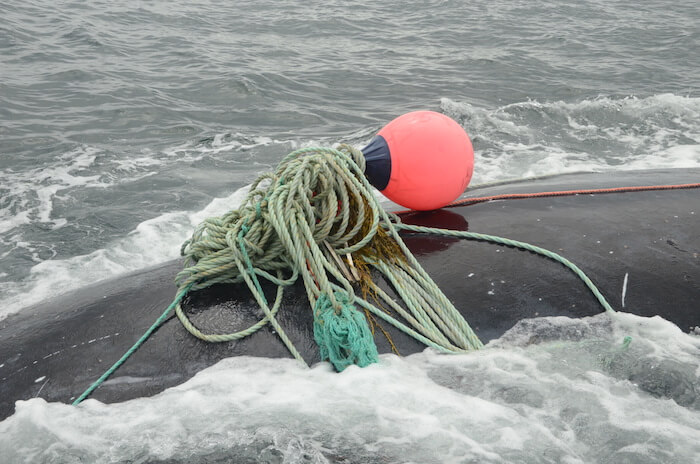 Right whale entangled in fishing ropes