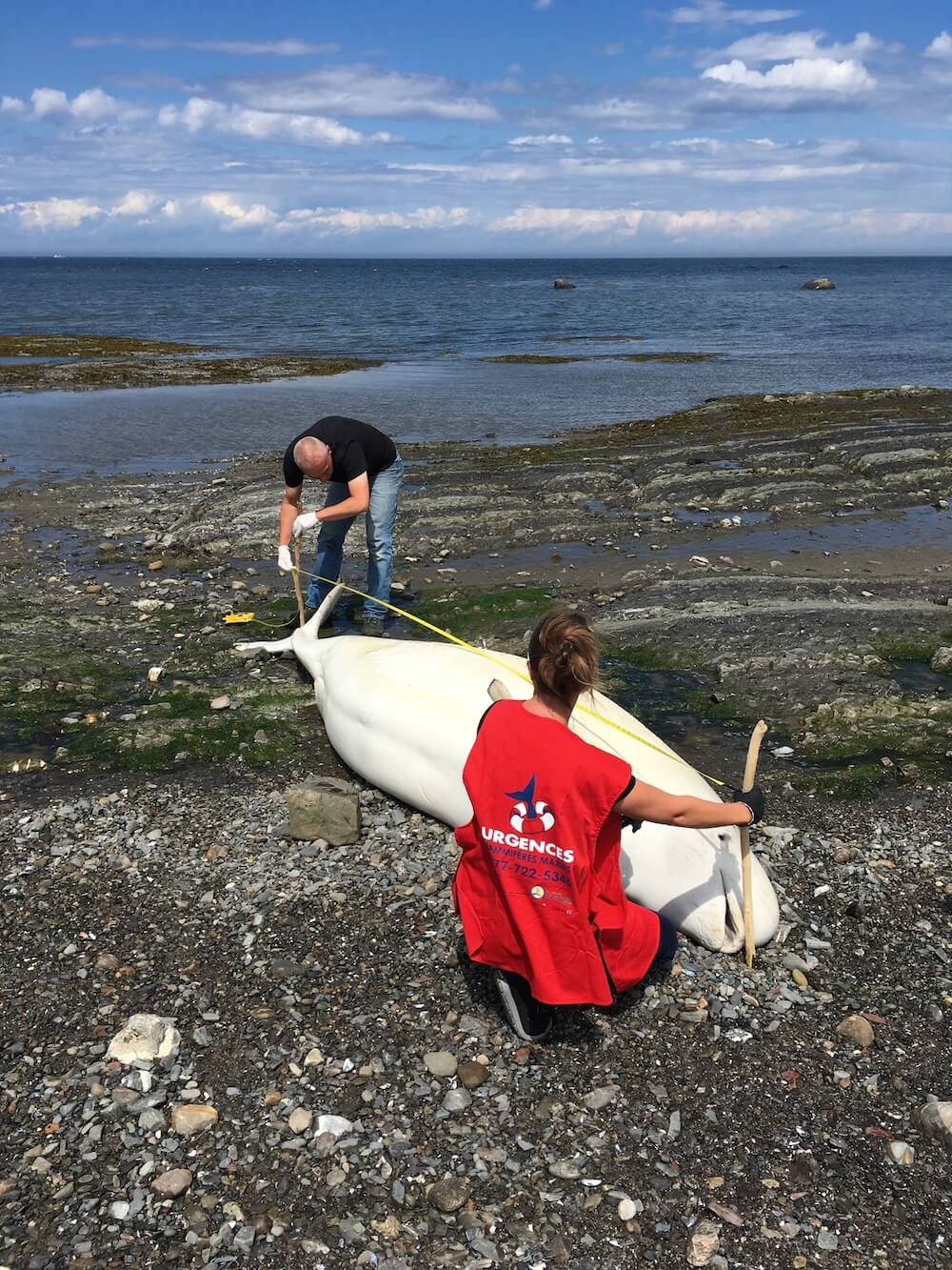 A volunteer assists the specialist in taking data on a beluga carcass