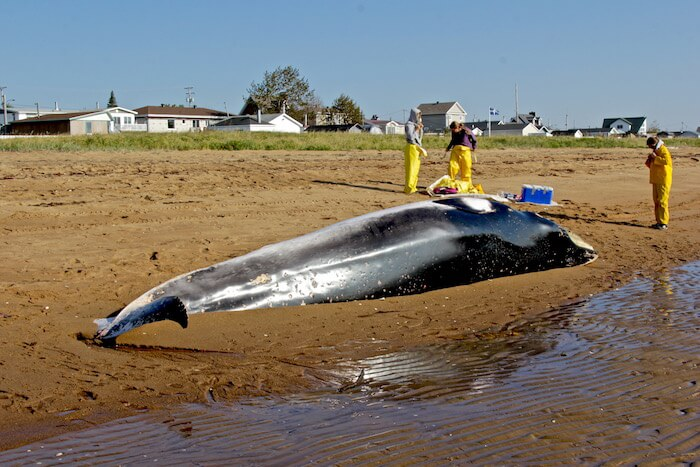 Three people around the stranded carcass of a minke whale on the beach