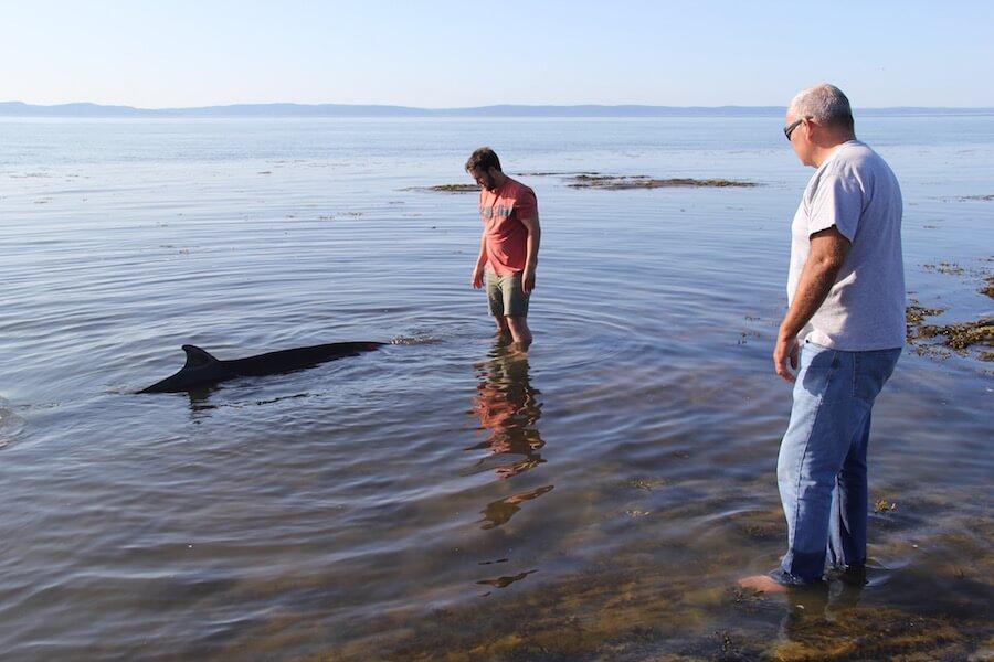 Baleine à bec de Sowerby échouée