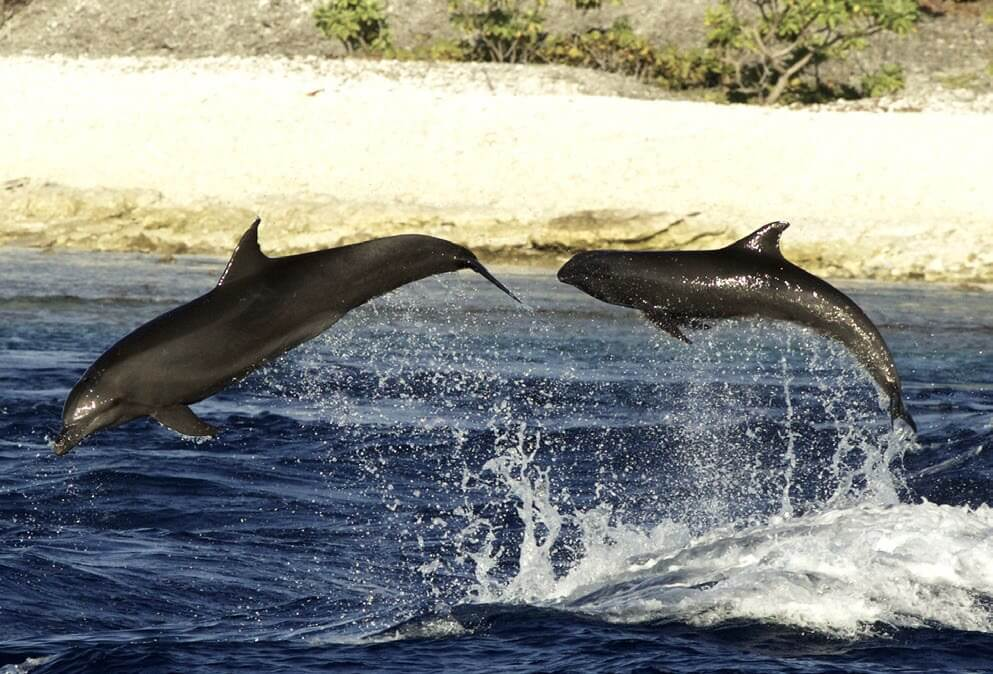 Melon-headed whale and bottlenose dolphin leaping in the waves