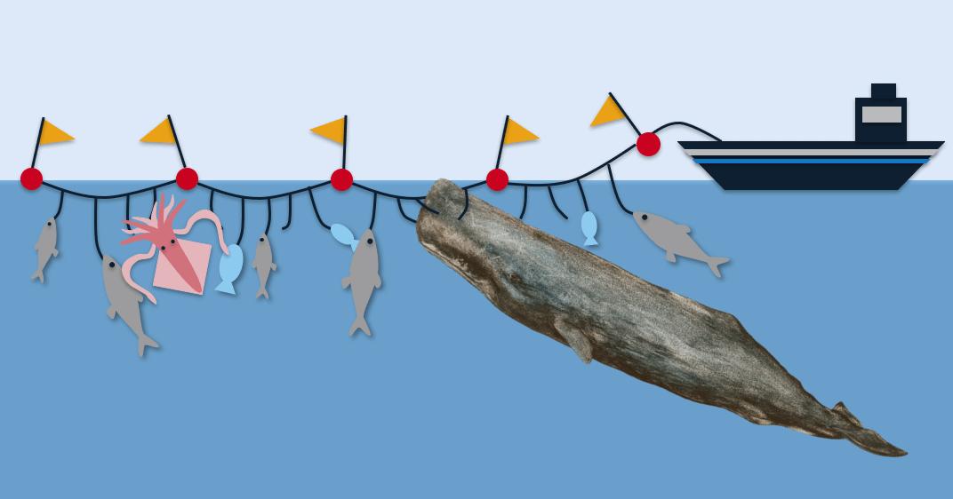 Schéma d'un comportement de déprédation par un cachalot sur des équipements de pêche à la palangre.