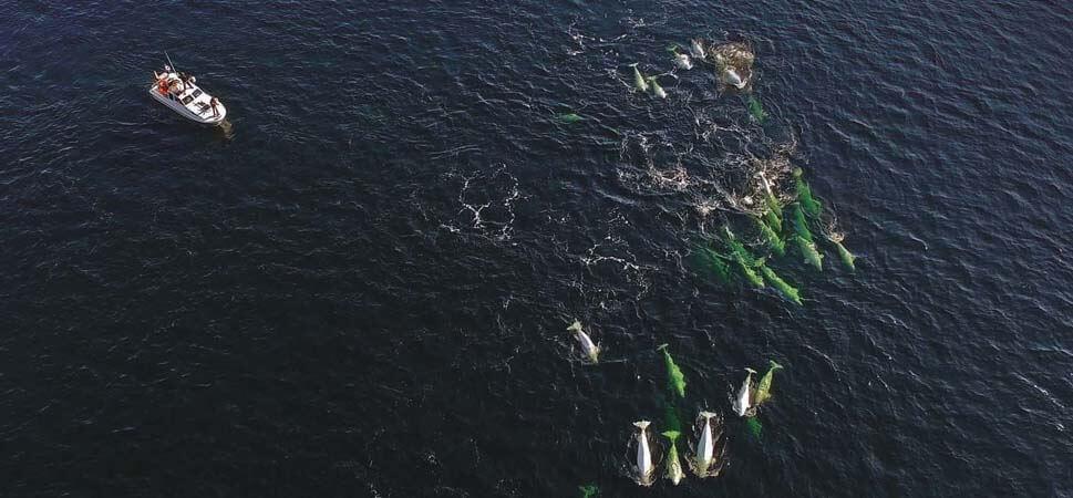 Vu par drone, le bateau de recherche et un troupeau de bélugas
