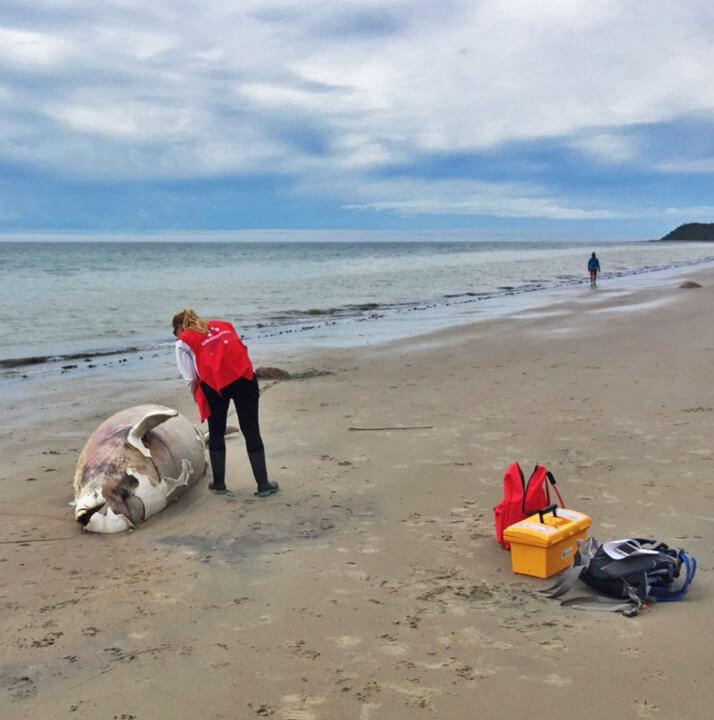 Une bénévole de la Côte Nord documente une carcasse de béluga.
