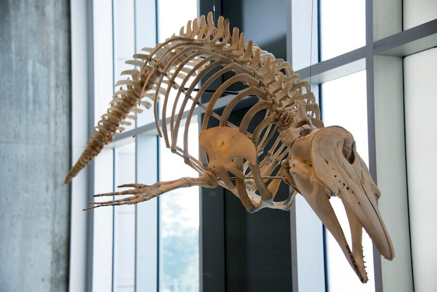 squelette béluga