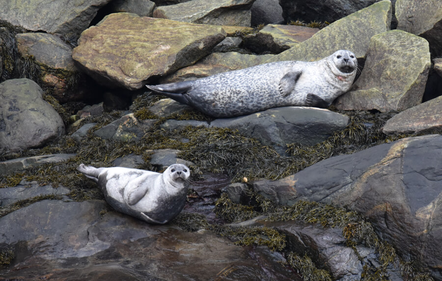 Seals (here harbour seals) use ice, rocks and shores for rest.