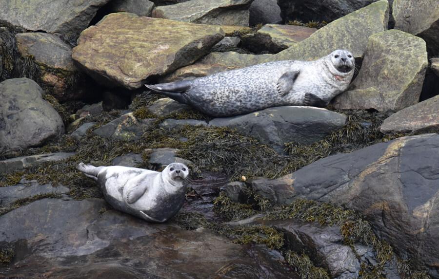 deux phoques se reposant
