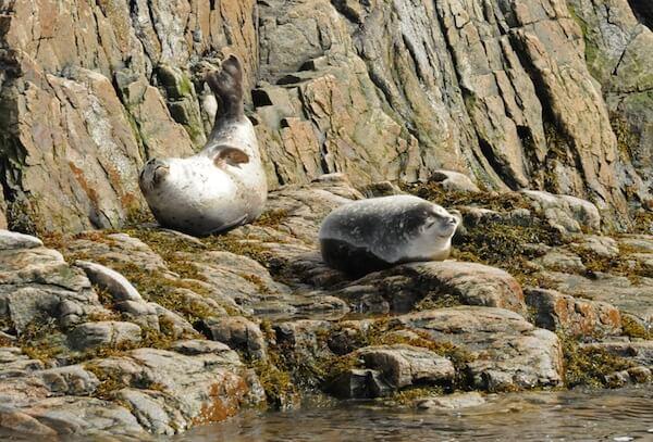 phoques au repos sur des rochers, l'un levant la queue
