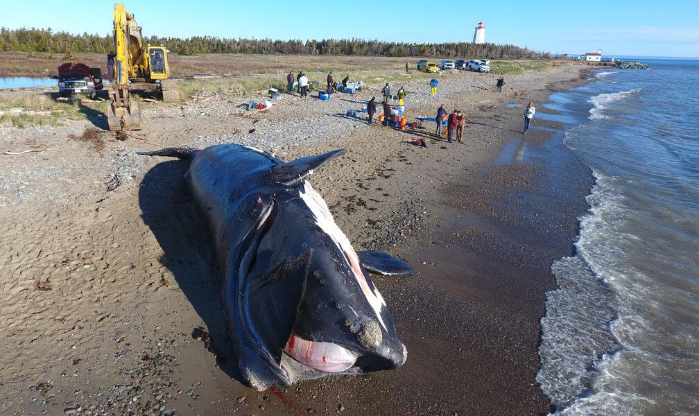 carcasse de baleine noire échouée