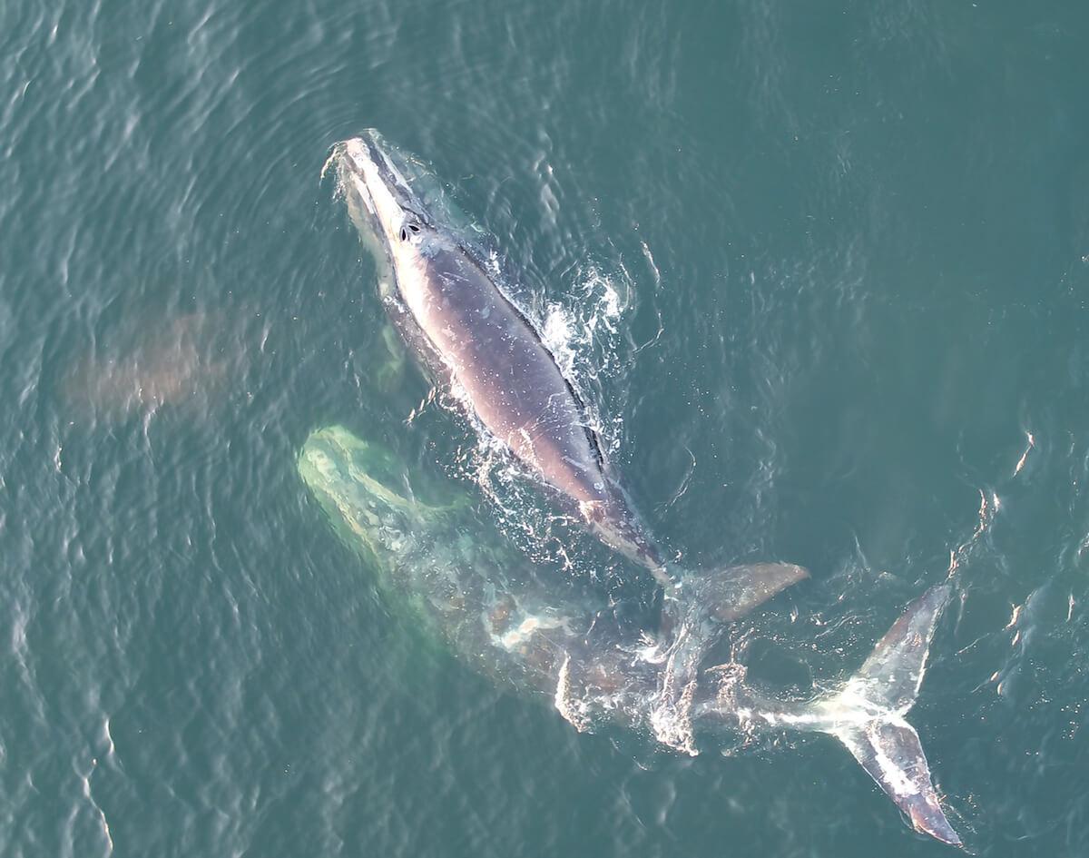 deux baleines noires vues du ciel
