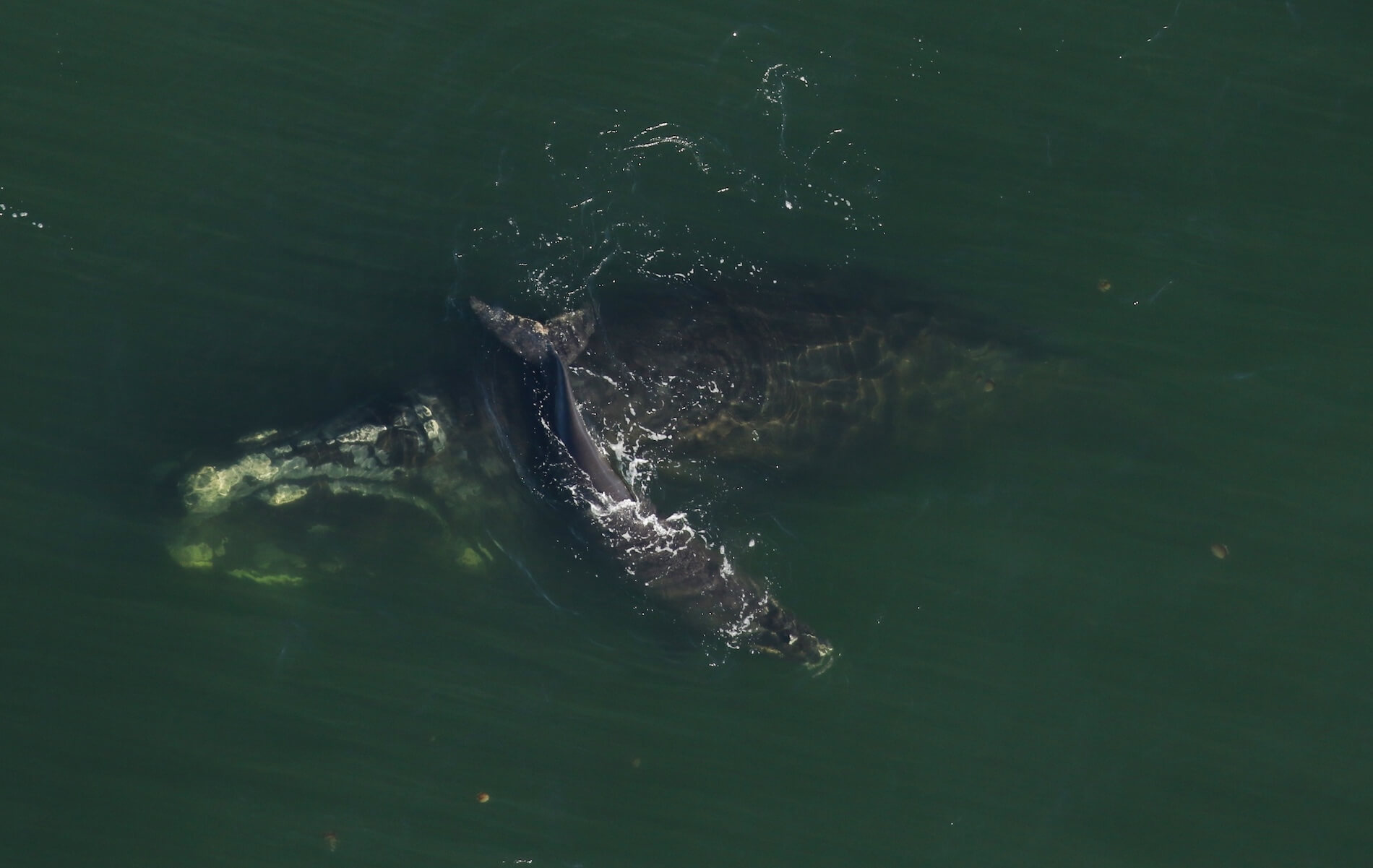 aerial view of Right Whale and calf