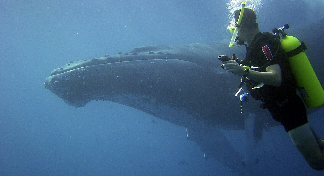 diver and humpback whale