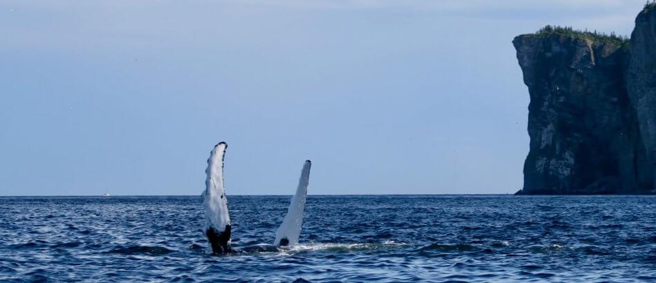 Deux nageoires de rorquals à bosse.