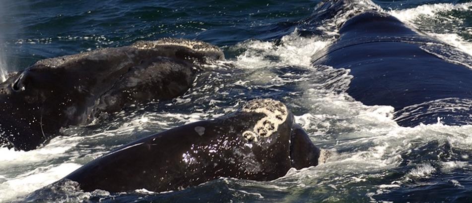 Queue de baleine noire