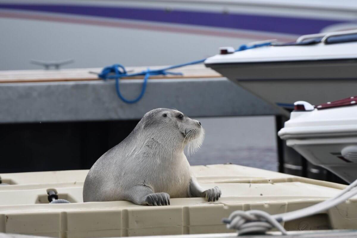 Phoque barbu à Laval sur une plateforme flottante. Sa poitrine et ses nageoires antérieures font face à la caméra, et sa tête est tournée vers sa gauche