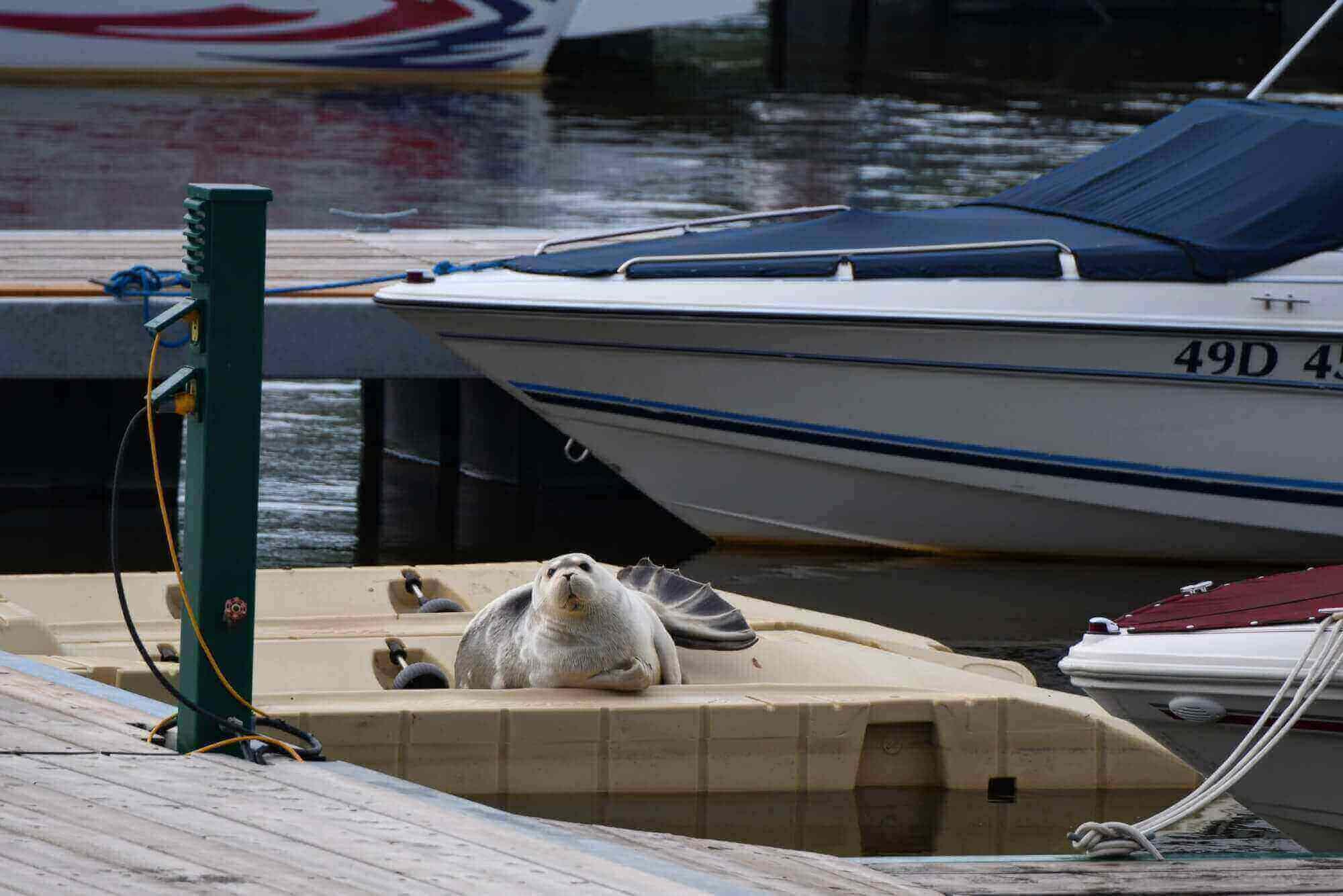 Phoque barbu à laval, sur une plateforme flottante. Ses nageoires postérieures sont déployées