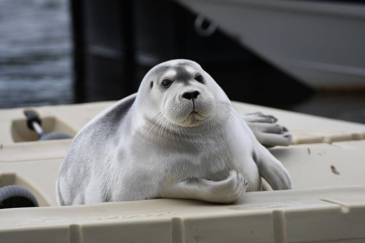 Phoque barbu sur une plateforme flottante à Laval. Il est de face, et son bon état de chair est particulièrement apparent.