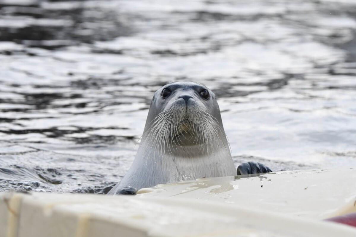 Tête du phoque barbu à laval qui sort de l'eau, de face, alors qu'il se hisse sur une plateforme flottante