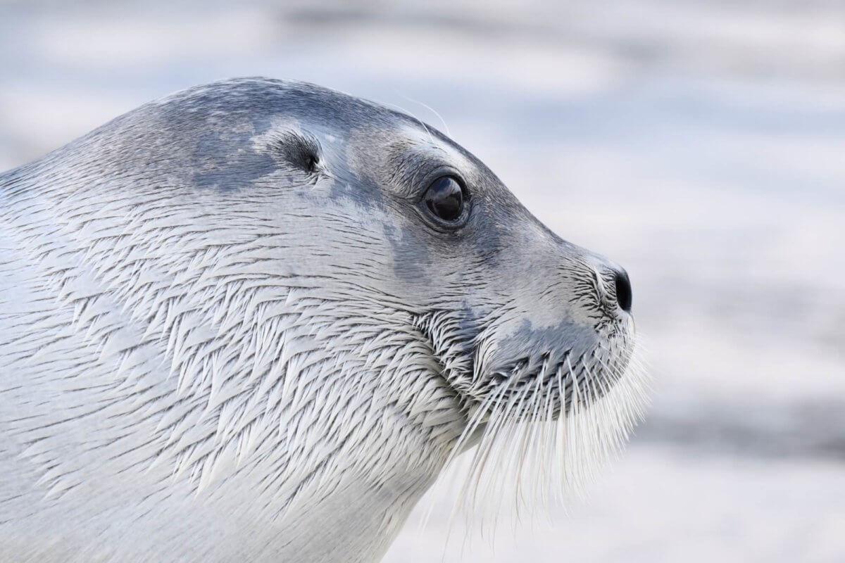 Tête de profil du phoque barbu à laval. En raison de l'angle, il semble sourire.