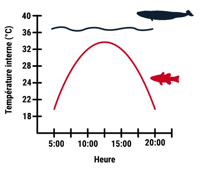 schéma thermorégulation
