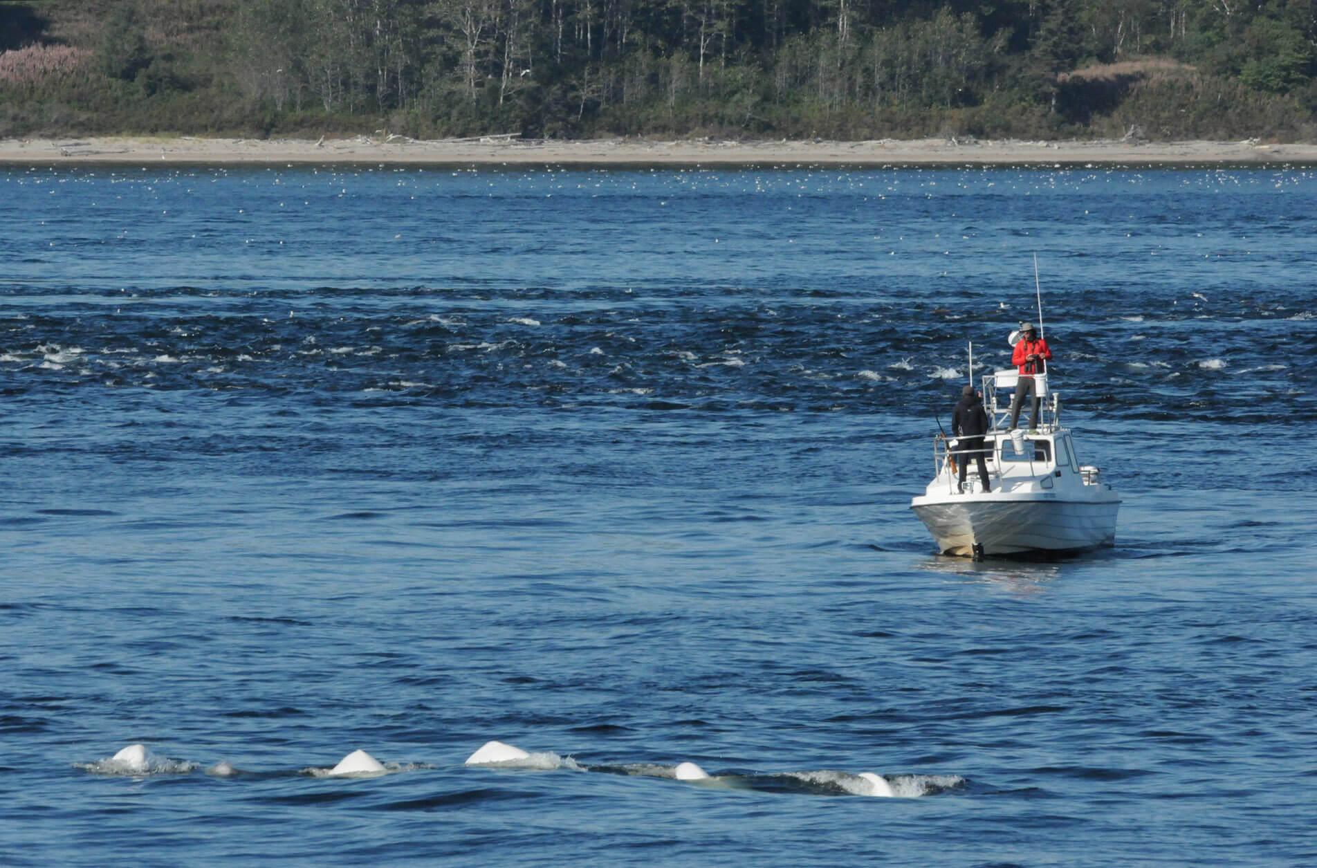 A search boat near of belugas.